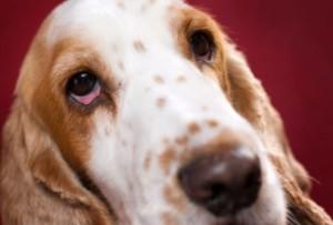 Cane congiuntivite | Consogli Bestiali | Collezione i Cuccioli