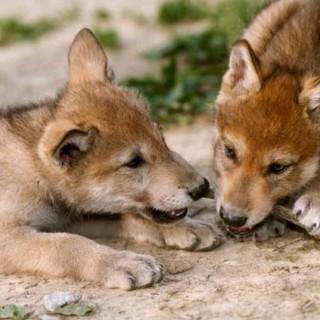 Lupo cuccioli | Collezione i Cuccioli