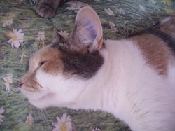 Domoni, gatto, sperimentazione animale, Collezione i Cuccioli